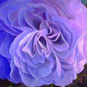 Begonia Bloom Art Print