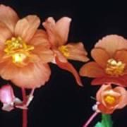 Begonia Buddies Art Print