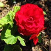Begonia Flower - Red Art Print