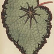 Begonia Rex, Variety Isis Art Print