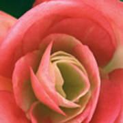 Begonia Rose Art Print