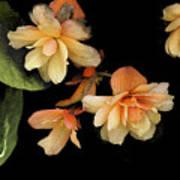 Begonias 2 Art Print