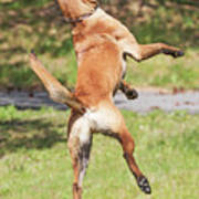 Belgian Shepherd Dog Art Print
