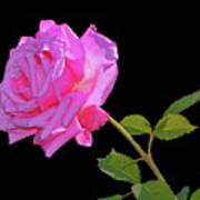 Belinda's Dream Rose 005 Art Print
