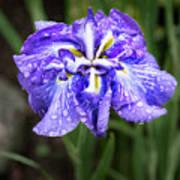 Bellevue Botanical Garden Iris 6402 Art Print