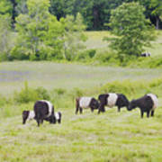 Belted Galloway Cows Rockport Maine Poster Prints Art Print