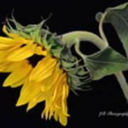 Bending Sunflower Art Print