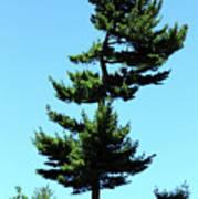 Beneath This Tree Lies Robert Edwin Peary Art Print