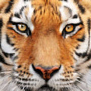 Bengal Tiger Art Print by Bill Fleming