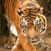 Bengal Tiger Art Print