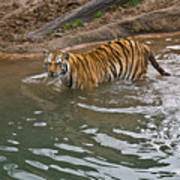 Bengal Tiger Wading Stream Art Print