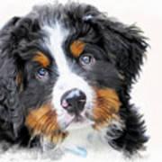 Berner-sennenhund Art Print