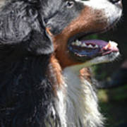 Bernese Mountain Dog Basking In The Sunshine Art Print