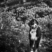 Bernese Mountain Dog Black And White Art Print