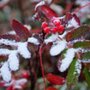 Berries And Snow Art Print