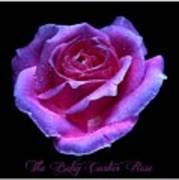 Betsy Cartier Rose Art Print