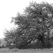 Between Two Trees Art Print