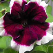 Bi-color Petunia Flower  Art Print