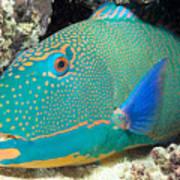 Bicolor Parrotfish Art Print
