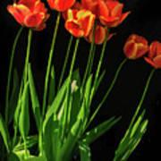 Bicolor Tulips Art Print