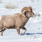 Big-horn Ram In Winter Art Print