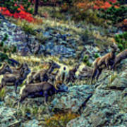 Big Horn Sheep - Close-up Art Print