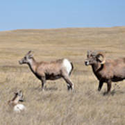 Big Horn Sheep Family Art Print