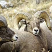 Big Horn Sheep Grazing Art Print