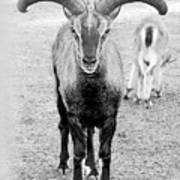 Big Moufflon Ram Art Print