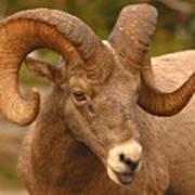 Bighorn Ram With Evident Disdain Art Print