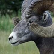 Bighorned Ram Art Print