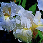 Billowing White Irises Art Print