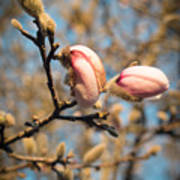 Biltmore Cherry Blossom Art Print