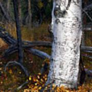 Birch Autumn 3 Print by Ron Day