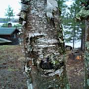 Birch Bark 3 Art Print