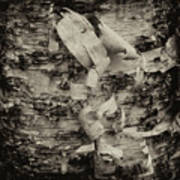 Birch Bark Detail Monotone Img_6361 Art Print