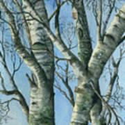 Birch Eye View Art Print