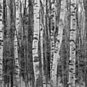 Birch Stand Art Print