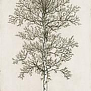 Birch Tree Art Print by Charles Harden