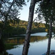 Birch Trees Along The Lake Art Print