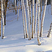 Birch Trees In The Snow, South Art Print