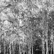 Birch Trees1 Art Print