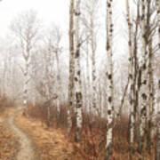Birch Walk Art Print