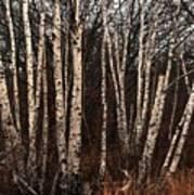 Birches In The Rain Art Print