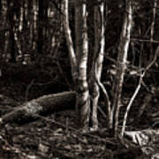 Birches In The Wood Art Print
