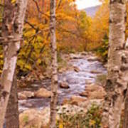 Birches On The Kancamagus Highway Art Print
