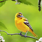 Bird And Blooms - Baltimore Oriole Art Print