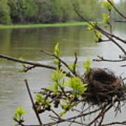 Bird Nest In Ash Tree Branches Art Print