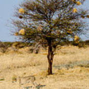 Bird Nests And A Cheetah Art Print