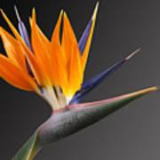 Bird Of Paradise #3 Art Print